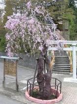 しだれ桜(温泉神社)