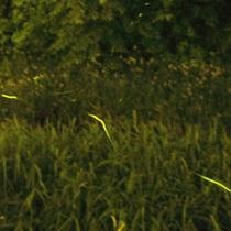 伊豆で一番早い天然蛍の鑑賞スポットへ車で5分♪シーズンは5月中旬から6月中旬。