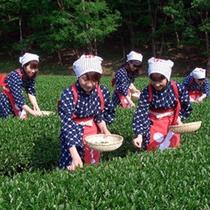 *お茶摘み体験は春と秋。現地までは車で約五分
