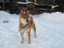 三香温泉犬、キンタ君