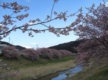 河津桜・南伊豆1