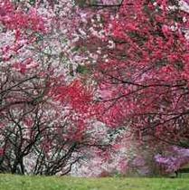 花桃 4月下旬~5月上旬見頃を迎えます