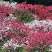 花桃の里へようこそ