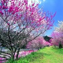 420~512花桃祭り開催です!昼神温泉周辺の花桃もちょうど見頃♪