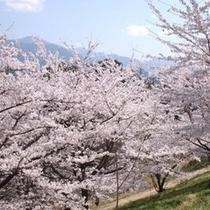 アルプス公園桜