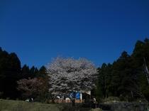 遅咲き桜H25