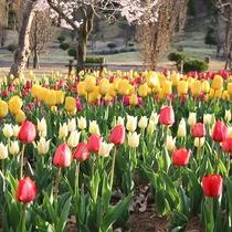 *庭園/チューリップ 3月~4月にかけて開花します。