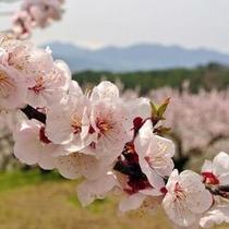 ■あんずの花
