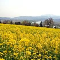 ■菜の花畑に入り日うすれ♪ 飯山菜の花公園