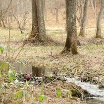 ■水芭蕉 居谷里湿原