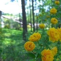 5月・・・ヤエヤマブキが色鮮やかに咲き乱れます