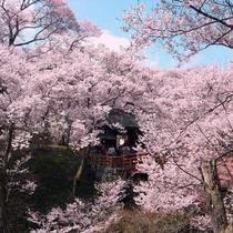コヒガンザクラが有名な高遠城跡公園(ホテルより車で90分)。今年の見頃は4月17日前後の予想です。