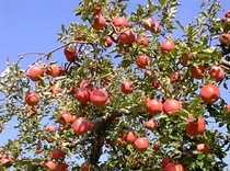 りんごの木(リンゴ園)