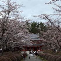 蓼科 聖光寺の桜