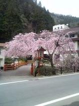 河鹿しだれ桜