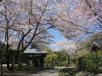 敷地内の桜(例年見頃:3月下旬頃~)