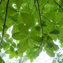 ◇6月に撮影「朴ノ木」森林浴コース内で見る事ができます。