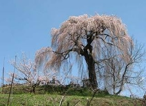 樹齢850年「宇木千歳桜」4月中下旬