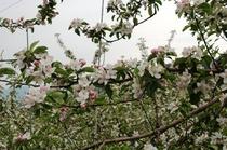 リンゴの花(5月初旬)