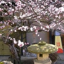 サクラに先がけて咲く、玄関前のウメの花。