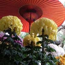 晩秋を彩る三本立ての菊の大輪。