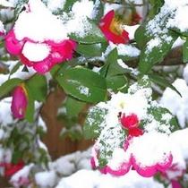 雪を被った本館前のツバキ。