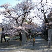 【観光】弥彦公園の桜
