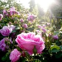 ◇一本木公園のバラ