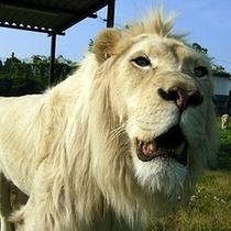 ホワイトライオン(サファリパーク)