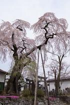 虚空蔵尊の枝垂桜