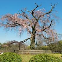 円山公園(枝垂桜)