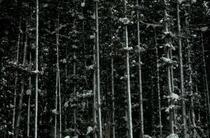 反町潤 写真9 冬の杉林