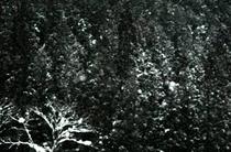 反町潤 写真4 「杉林2」