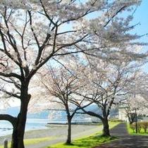 諏訪湖畔の桜♪ 「間欠泉・足湯」付近 (撮影2014年)