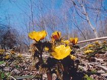 春:幸せの福寿草
