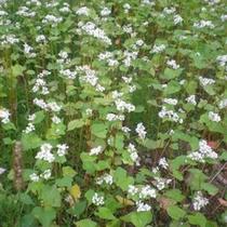 猪苗代特産蕎麦の花