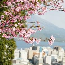 早咲きのカンヒザクラ(2012年2月27日撮影)