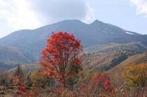 秋の乗鞍高原一の瀬園地の大楓の木