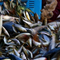 獲れとれ魚の種分け
