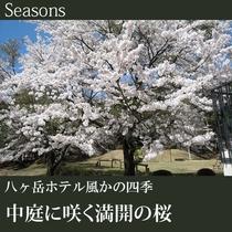 ◆中庭に咲く満開の桜