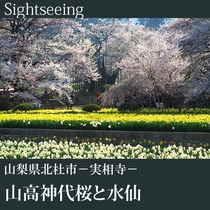 ▼山高神代桜と水仙