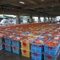 競り場に並べられた「香住カニ」。  「松葉ガニ」に比べれば、水揚げ量は豊富です。