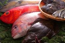 房総の地魚