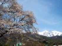桜と白馬岳