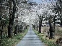 茅部神社桜並木