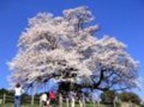 醍醐桜(モバイル用)