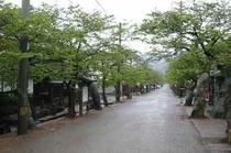 新庄村・新緑のがいせん桜