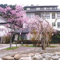 *当館目の前にも、立派な桜の木がございます。