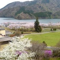 *宮ヶ瀬湖周辺に咲き誇る、13種類1300本の桜