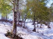 春残雪のブナ林『スノーシュー』で歩く♪